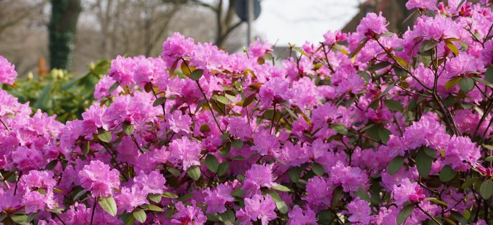Rhododendron Im Kurpark